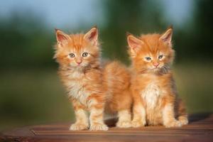 deux chatons rouges à l'extérieur