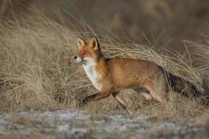 renard roux au trot