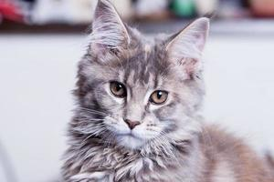 jeune chat maine coon photo