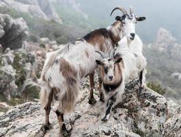 deux chèvres photo