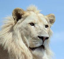 Lion blanc photo