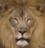 regard du lion photo