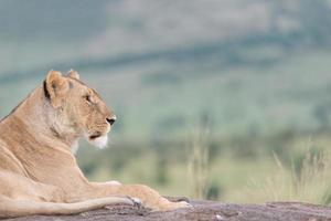 lion regardant au loin photo
