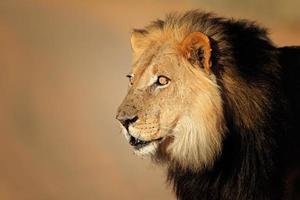 portrait de lion africain photo