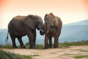 Deux éléphants dans le parc des éléphants d'Addo, Afrique du Sud photo