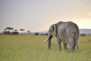 éléphants broutant au crépuscule