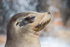Lion de mer de Californie bouchent portrait photo