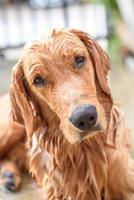 golden retriever prend un bain