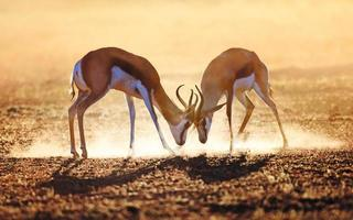 springbok dual dans la poussière photo