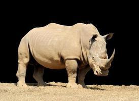 rhinocéros sur fond sombre photo