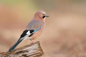 oiseau geai photo