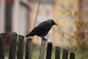 choucas sur la clôture