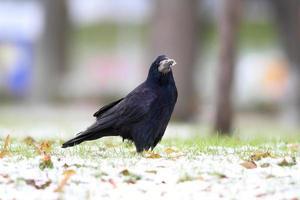 corvus frugilegus sur le parc enneigé photo