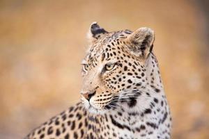 visage de léopard photo