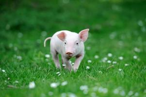 jeune cochon