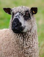 mouton wensleydale photo