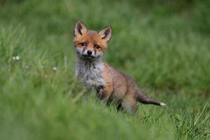 petit renard curieux photo
