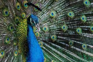 paon de couleur vive. photo