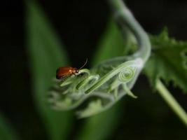 scarabée orange