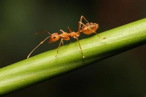 fourmi marchant à la recherche de nourriture sur une branche. photo