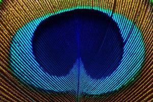 plume de paon photo
