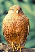 portrait d'oiseau crécerelle photo