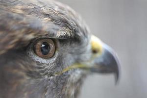 yeux de l'aigle royal photo
