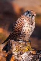 Faucon crécerelle assis sur un moignon photo