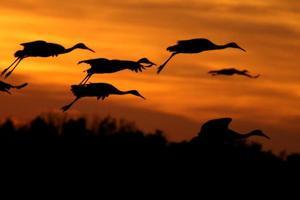 grues du Canada atterrissant au coucher du soleil photo