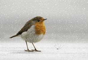 Robin dans la neige