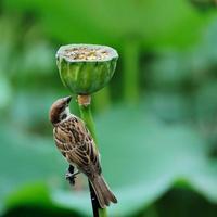 le moineau de l'étang de lotus photo