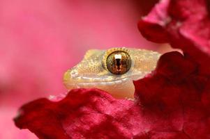 maison européenne gecko - hemidactylus turcicus photo