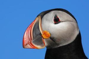 profil de macareux photo