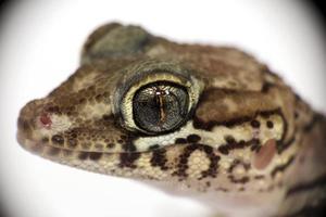pictus gecko photo