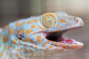 tokay gecko photo