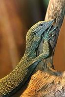bébé dragon de komodo photo