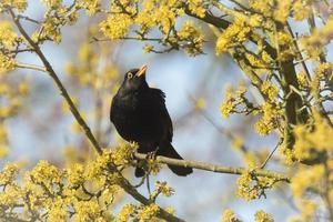Merle noir (Turdus merula) chantant dans un arbre photo