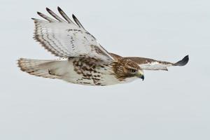 Faucon à queue rouge