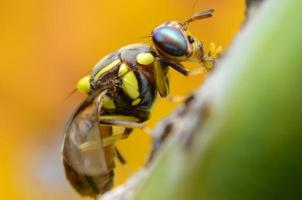 mouche orientale des fruits photo