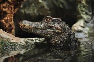 caïman à front lisse (paleosuchus trigonatus).