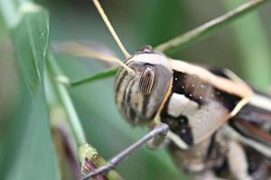 macro de sauterelle brune perchée sur une feuille. photo