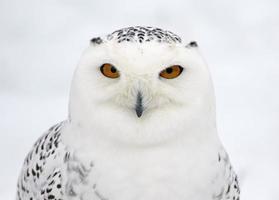 profil de la chouette des neiges photo