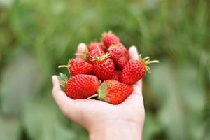 fraises fraîches à portée de main