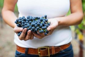 vigneron, tenue, cabernet, sauvignon, raisins