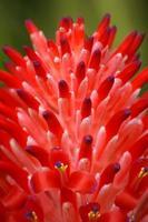 gros plan de fleurs d'ananas rouge photo
