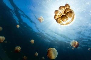 lac de méduses photo