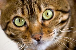 visage de chat du Bengale photo