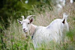 chèvre nounou photo