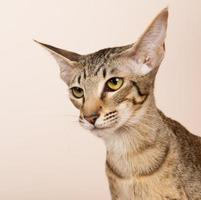 chat oriental à poils courts