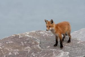 chiot renard roux photo